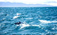 Dophins, New Zealand